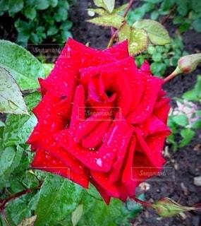 薔薇の写真・画像素材[2165880]