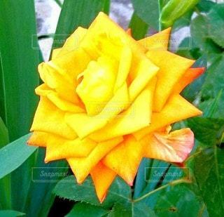 薔薇の写真・画像素材[2188724]