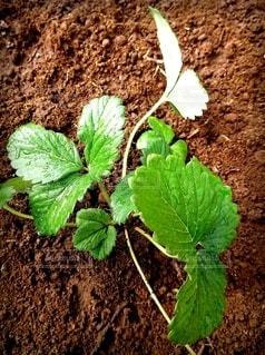 イチゴの芽の写真・画像素材[2344112]