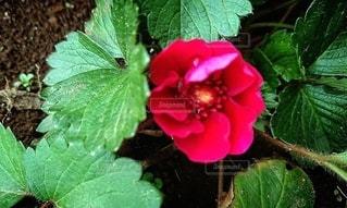 ローズベリーの花の写真・画像素材[2365504]