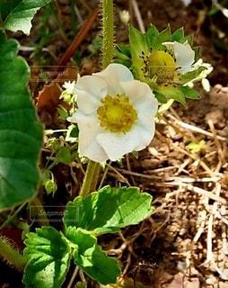 イチゴの花の写真・画像素材[2365569]