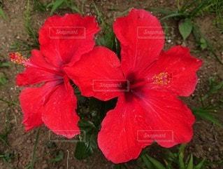 赤い花の写真・画像素材[2846036]