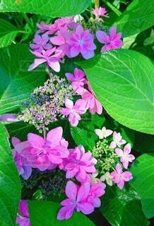 紫陽花の写真・画像素材[3810751]
