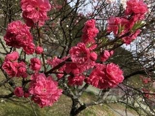 ピンクの花でいっぱいの花瓶の写真・画像素材[2139083]