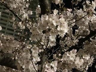 夜桜の写真・画像素材[2139108]