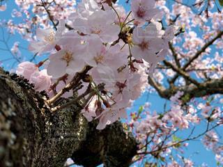 小枝に生える桜の写真・画像素材[2139190]