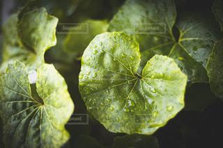 緑の葉のクローズアップの写真・画像素材[2950863]