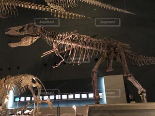 ティラノサウルスの全体骨格の化石の写真・画像素材[2139502]