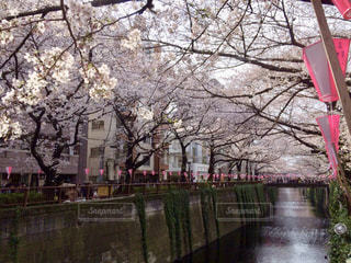 桜並木の写真・画像素材[2149257]