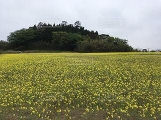 野原の黄色い花の写真・画像素材[2140250]