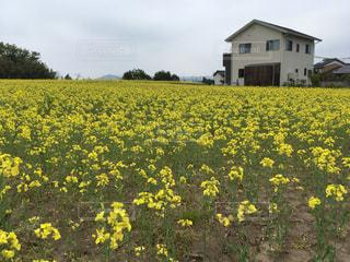 野原の黄色い花の写真・画像素材[2140251]