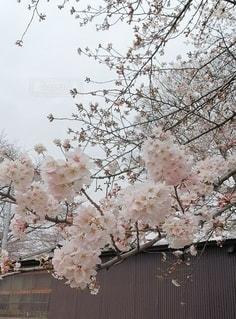 満開の桜の写真・画像素材[2145372]