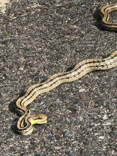 初夏のシマヘビの写真・画像素材[2146351]