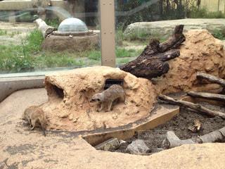 動物園のミーアキャットの写真・画像素材[2146893]