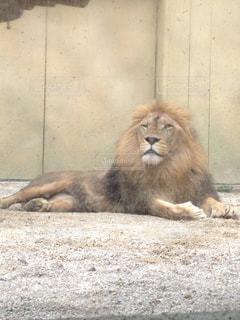 寝そべるライオンの写真・画像素材[2146894]
