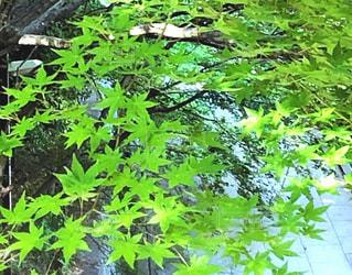 新緑の美しさの写真・画像素材[2160328]