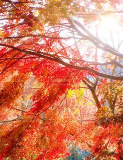 紅葉の秋の写真・画像素材[2416810]