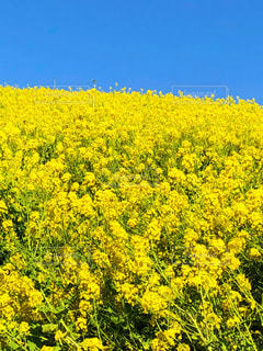 菜の花畑の写真・画像素材[3050933]