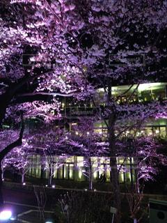 夜桜は華やかにの写真・画像素材[2171381]
