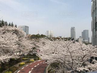 都市の花見の写真・画像素材[2914891]