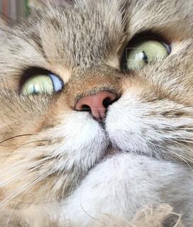 かっこいいボス猫の写真・画像素材[2161584]
