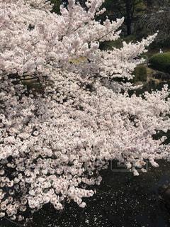 桜の写真・画像素材[1098263]