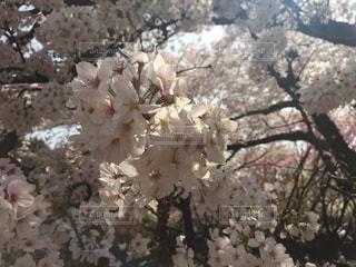 桜の写真・画像素材[1098264]
