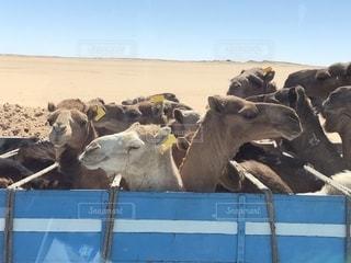 エジプト 車に乗ったラクダの写真・画像素材[2150961]