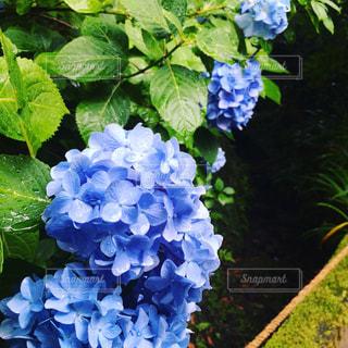 雨の日の紫陽花の写真・画像素材[2150573]
