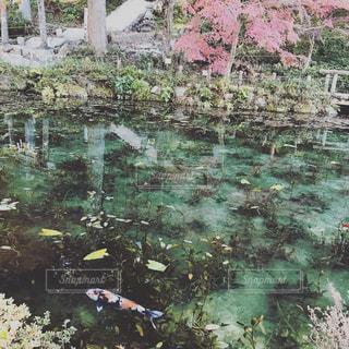 モネの池。の写真・画像素材[2155318]