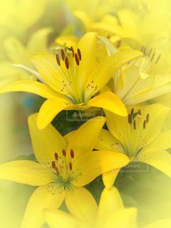 yellowFlowerの写真・画像素材[2251400]