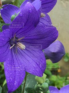 紫が濡れての写真・画像素材[2256205]