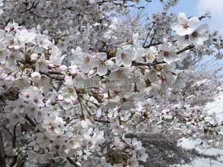 咲き誇る満開の桜の写真・画像素材[2154551]