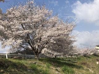 黒瀬川土手の満開の桜の写真・画像素材[2154552]