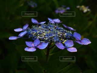 紫陽花の写真・画像素材[2157332]