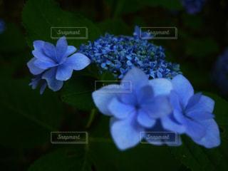 紫陽花の写真・画像素材[2157334]