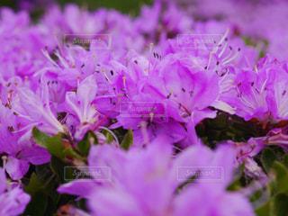 ミヤマキリシマの写真・画像素材[2158269]