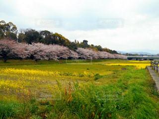桜と菜の花の写真・画像素材[2168038]