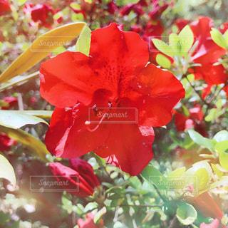 赤つつじの写真・画像素材[2152906]