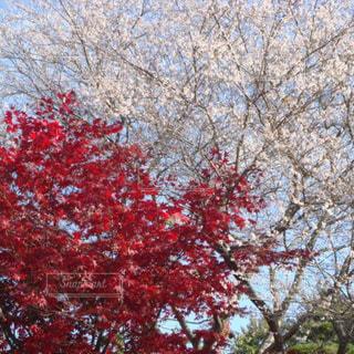 桜と紅葉の写真・画像素材[2156354]