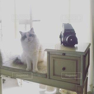 カメラのポーズをとる鏡の前に座っている猫の写真・画像素材[2438035]