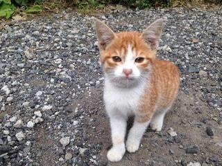 猫の写真・画像素材[114309]