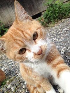 猫の写真・画像素材[114311]