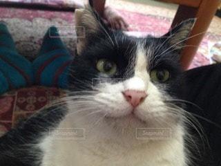 猫の写真・画像素材[114359]