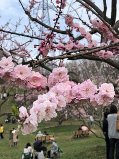 梅の花の写真・画像素材[2156722]