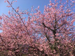 ピンクの花を持つ木の写真・画像素材[2168131]