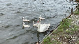 柏市の川辺に憩う白鳥の親子の写真・画像素材[2275673]