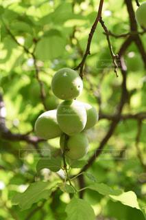 梅の実の写真・画像素材[2167534]