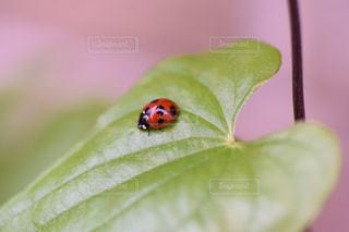ナナホシテントウ虫の写真・画像素材[2171641]