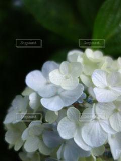 紫陽花の写真・画像素材[2258381]